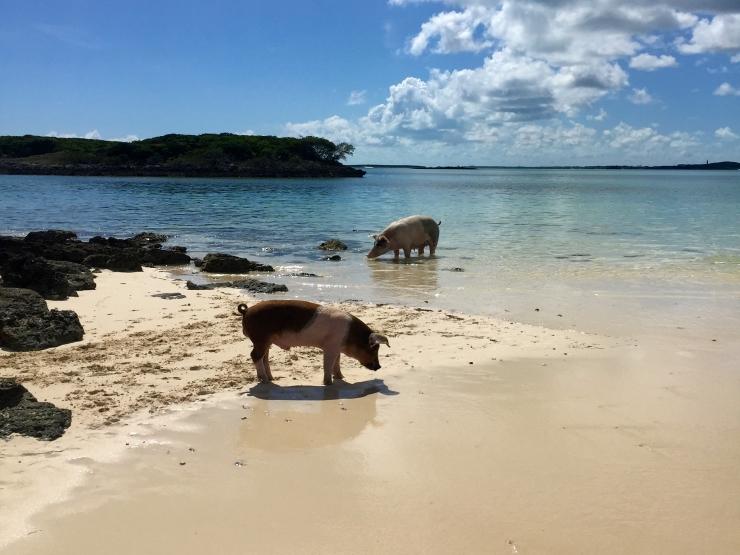 Great Exuma, Bahamas, Pigs15
